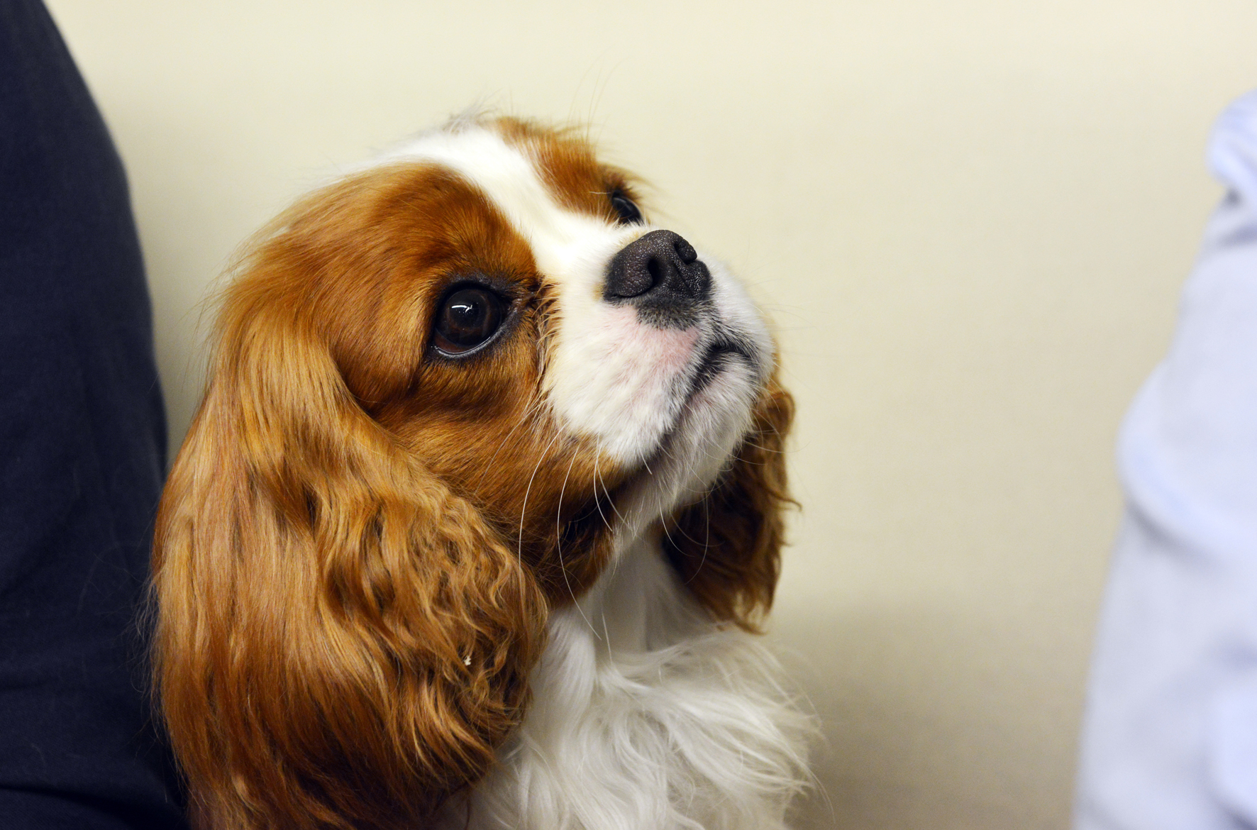 centrale canine cavalier king charles